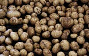 Scientists develop 'super spud' in a bid to prevent stunting
