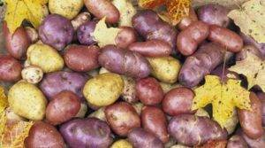 Potato-Varieties-Type-for-Baking-Frying-and-Boiling